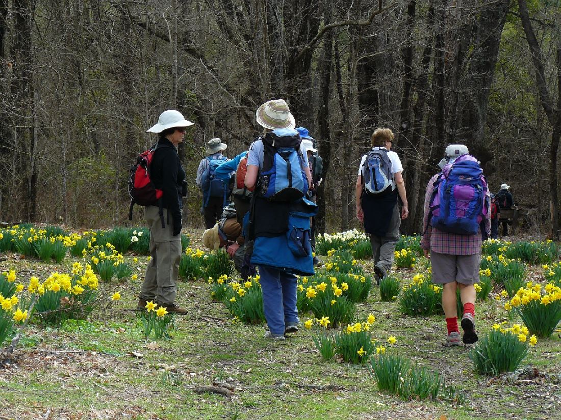 Amongst the daffodils, Sherwood Homestead historic site, by Meg McKone