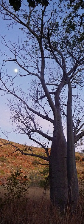 Boab tree and full moon, Carr Boyd Ranges, WA, by Lynette Finch