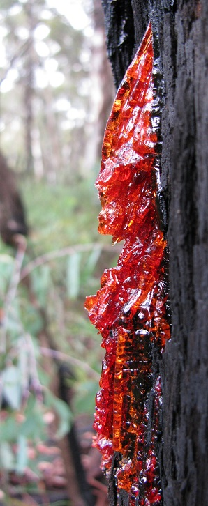 Eucalypt sap, Stockyard Spur, by Mike Bremers