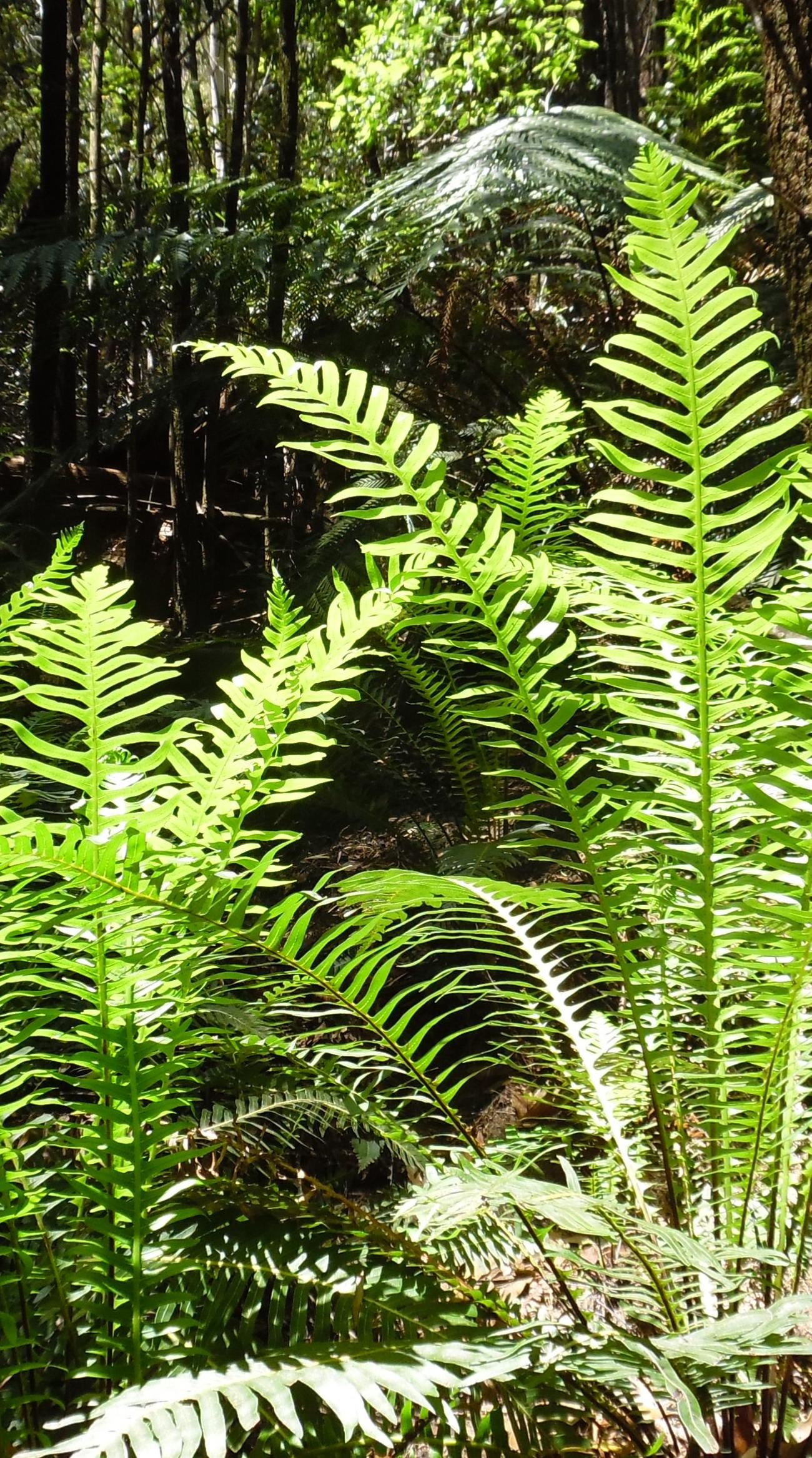 Ferns in a canyon near Dargan, Blue Mountains NP