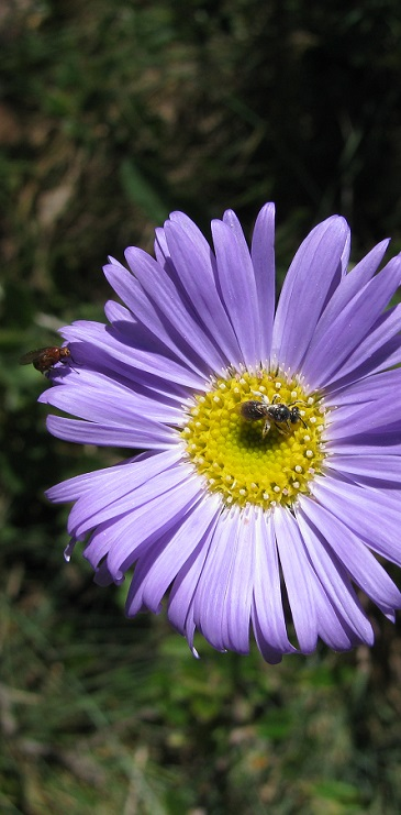 Purple daisy and insects, January, Snowy Flat, Namadgi NP, by Mike Bremers