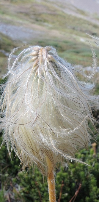 Seed head, near Spectrum Pass, Tsylos, Canada, by Philip Gatenby