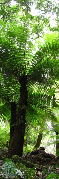 Tree ferns Monga NP, by Mike Bremers