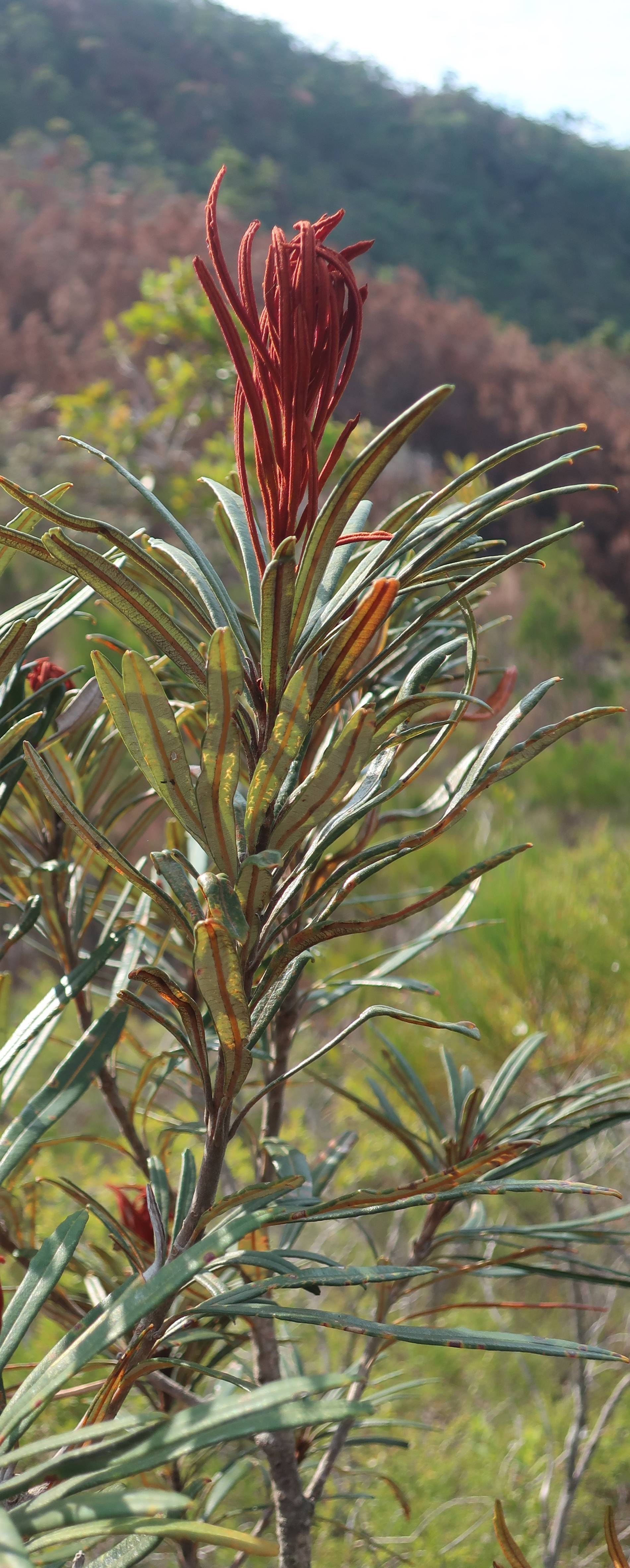 New growth, probably the rare Banksia plagiocarpa, Thorsbourne Trail, Hinchinbrook Is.